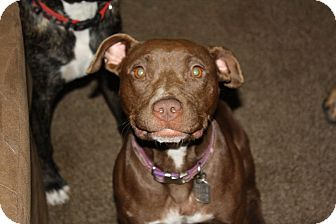 American Pit Bull Terrier Mix Dog for adoption in Dayton, Ohio - Edie
