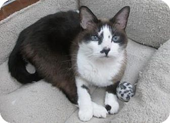Snowshoe Cat for adoption in Benbrook, Texas - Lucy