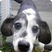 Beagle/Hound (Unknown Type) Mix Dog for adoption in Canterbury, New Hampshire - Dottie
