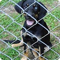 Adopt A Pet :: Sky-Reduced $175 - Bel Air, MD