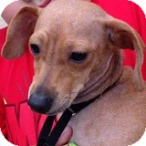 Dachshund Mix Puppy for adoption in Houston, Texas - Cassidy Crane