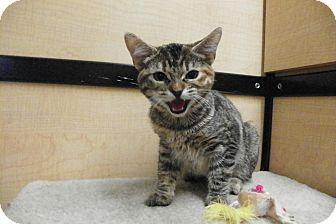 Domestic Shorthair Kitten for adoption in Riverside, California - Camille