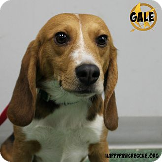 Beagle Dog for adoption in South Plainfield, New Jersey - Gale