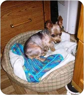 Yorkie, Yorkshire Terrier Dog for adoption in Long Beach, New York - Spikey
