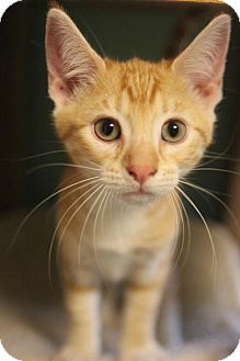 Domestic Mediumhair Cat for adoption in Atlanta, Georgia - Michelangelo