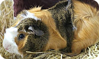 Guinea Pig for adoption in Forked River, New Jersey - Browny