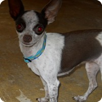 Adopt A Pet :: Rachel - dewey, AZ