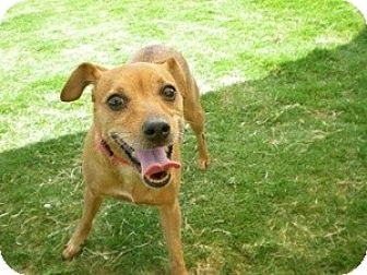 Jack Russell Terrier/Chihuahua Mix Dog for adoption in Justin, Texas - Belle