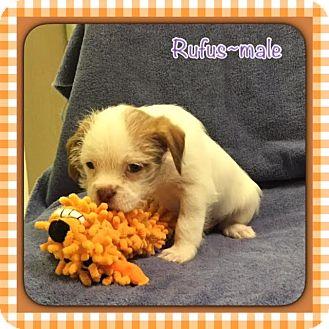 Lhasa Apso Mix Puppy for adoption in Allentown, Pennsylvania - Rufus