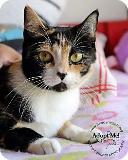Domestic Shorthair Cat for adoption in Lyons, New York - Olivia