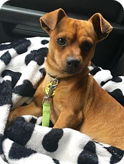 Chihuahua/Dachshund Mix Dog for adoption in Colorado Springs, Colorado - MERLE
