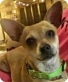 Chihuahua Mix Dog for adoption in Baton Rouge, Louisiana - Maggie
