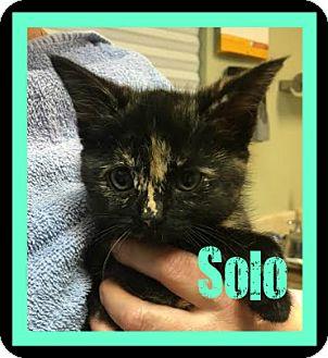 Domestic Shorthair Kitten for adoption in Covington, Louisiana - Solo