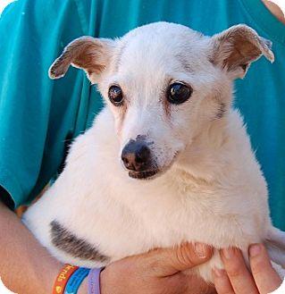 Italian Greyhound/Chihuahua Mix Dog for adoption in Las Vegas, Nevada - Elizabeth