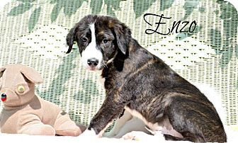 Border Collie Mix Puppy for adoption in Chester, Connecticut - Enzo