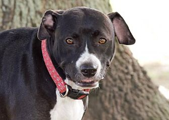 Pit Bull Terrier Mix Dog for adoption in Abbeville, Louisiana - Autumn