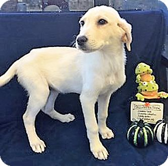 Golden Retriever/Great Pyrenees Mix Puppy for adoption in BIRMINGHAM, Alabama - Ghost