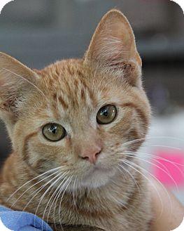 Domestic Shorthair Cat for adoption in O Fallon, Illinois - Niko