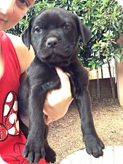 Rottweiler Mix Puppy for adoption in Concord, California - Ridley