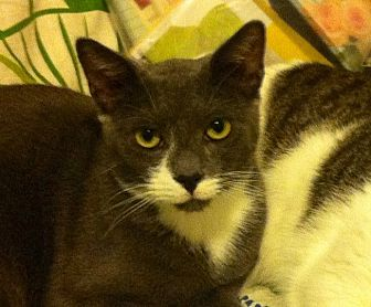 Russian Blue Cat for adoption in New York, New York - GOOFY COOKIEDOO & BOOBOO