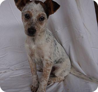 Corgi/Australian Cattle Dog Mix Puppy for adoption in Oviedo, Florida - Christopher