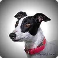 Adopt A Pet :: Breeze - Woodinville, WA