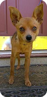 Chihuahua Dog for adoption in West Springfield, Massachusetts - Foxy