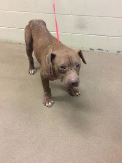 American Pit Bull Terrier Mix Dog for adoption in Anderson, South Carolina - Bruce-Bruce