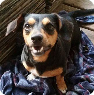 Dachshund Puppy for adoption in Buffalo, New York - Shorty