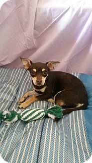 Chihuahua/Jack Russell Terrier Mix Puppy for adoption in Rosemead, California - Charlotte