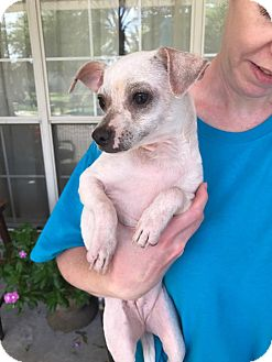 Chihuahua Mix Dog for adoption in Beaumont, Texas - Minion