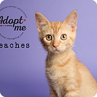 Domestic Shorthair Kitten for adoption in Friendswood, Texas - Peaches