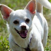 Adopt A Pet :: OZZIE - Franklin, TN