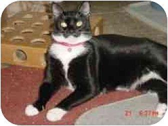 Domestic Shorthair Cat for adoption in Pasadena, California - Sasha