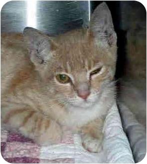 Domestic Shorthair Cat for adoption in San Clemente, California - POPPY