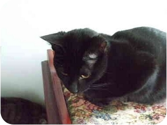 Bombay Cat for adoption in Montreal, Quebec - Susie
