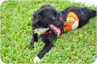 Border Collie Mix Dog for adoption in Homestead, Florida - Negrita Flora