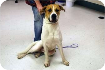 Boxer/Hound (Unknown Type) Mix Dog for adoption in Minneola, Florida - Rufus
