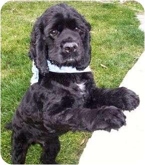 Cocker Spaniel Dog for adoption in Santa Barbara, California - BJ