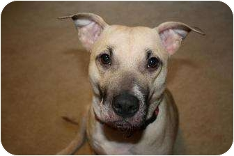 Shepherd (Unknown Type)/American Pit Bull Terrier Mix Dog for adoption in Reisterstown, Maryland - Rosey