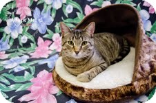 Domestic Shorthair Cat for adoption in Okotoks, Alberta - Wally