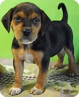 German Shepherd Dog/Beagle Mix Puppy for adoption in Struthers, Ohio - Earnhart