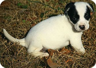 Boxer/Dalmatian Mix Puppy for adoption in Foster, Rhode Island - Annabell