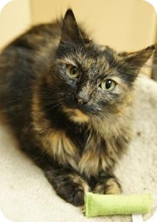 Calico Cat for adoption in Medford, Massachusetts - Tess