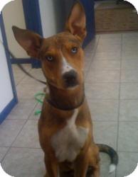 Anatolian Shepherd/Labrador Retriever Mix Dog for adoption in Kingwood, Texas - Frisco