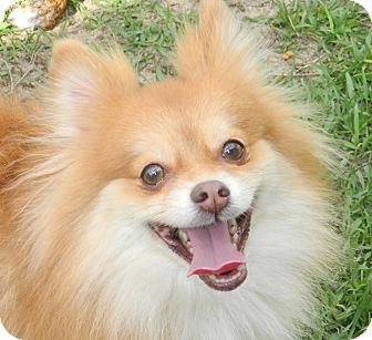 Pomeranian/Pomeranian Mix Dog for adoption in Umatilla, Florida - Chaz