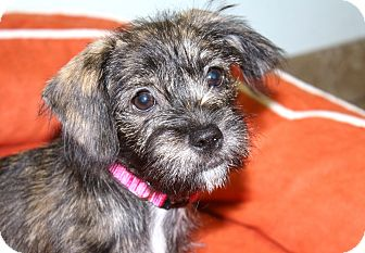 Shih Tzu/Dachshund Mix Puppy for adoption in Yorba Linda, California - Cheddar - I do not shed!