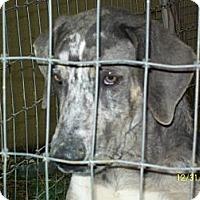 Catahoula Leopard Dog/Labrador Retriever Mix Dog for adoption in Mexia, Texas - Max