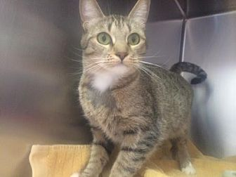 Domestic Shorthair Cat for adoption in Sherman Oaks, California - Blue - FeLV positive