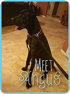 Great Dane Dog for adoption in Phoenix, Arizona - Angus